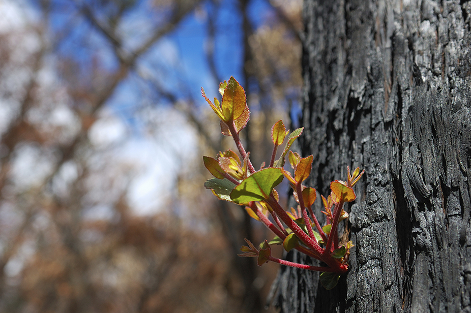 Bushfire Tree Regeneration